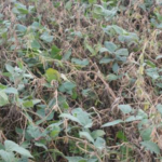 Heavy incidence of white mold in a Cass County irrigated soybean field. (Photo by Bruce MacKellar, MSU Extension)