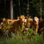Cattle grazing in a silvopasture. (Courtesy of USDA NRCS Texas via Flickr)