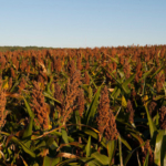 Growing sorghum in southwest Kansas is one of the topics on tap at K-State's Southwest Research-Extension Center Field Day 2018 on Thursday, Aug. 23. (Courtesy of K-State Research and Extension)