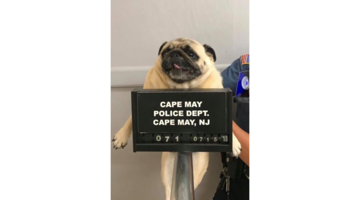 Pug Mug: Dog's stint in jail goes viral