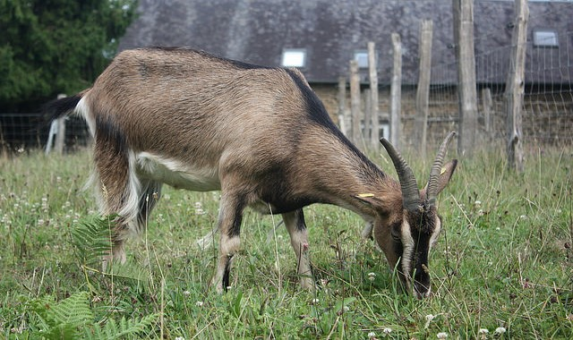 Town uses grazing goats to trim cemeteries