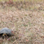 Female turtles are traveling great distances to find the perfect site to dig a nest and lay their eggs. (Photo courtesy of Ben Vincent/UW-Madison CALS)