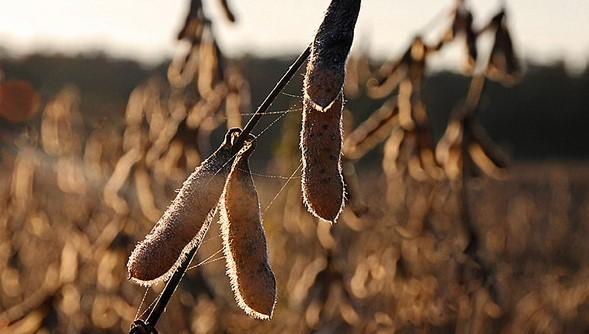Soybean farmers frustrated over price drop