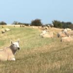 ewe, sheep