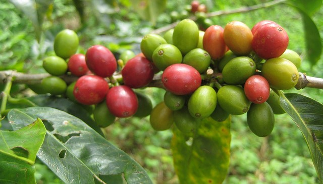 Coffee and conservation: Mozambique tries both