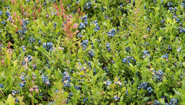 Value of Maine blueberries dips in 2017