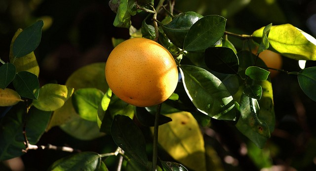 Citrus farmers end season on gloomy note