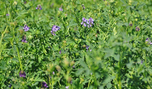 Alfalfa & forage research grants awarded
