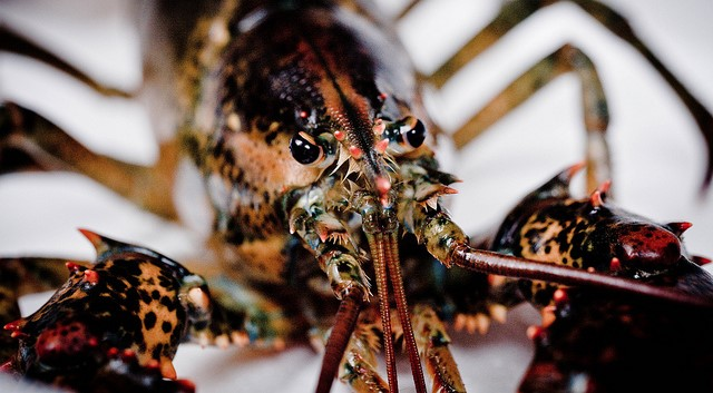 Grants promote study of lobster conservation