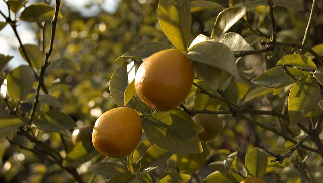 Foreign visitors to Japan enjoy picking fruit