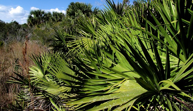 New requirements for saw palmetto berries