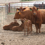 In this month's BeefWatch Producer Perspective Podcast, Alex Wiese, who is part of a family owned and operated farm near Newman Grove, shares how he has started a cow-calf enterprise as part of his family's operation. (Photo courtesy of Dr. Karla Jenkins)