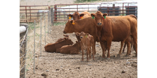 Dry lotting cow-calf pairs