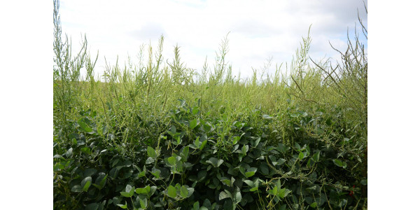The field day July 11 near Carleton will focus on management of herbicide-resistant Palmer amaranth. (Amit Jhala/Department of Agronomy and Horticulture)