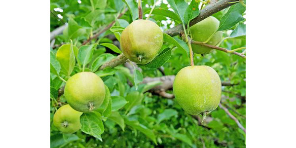 The predicted apple harvest dates are now available at all locations on the Michigan State University Enviro-weather website. (Photo by Mark Longstroth, MSU Extension)