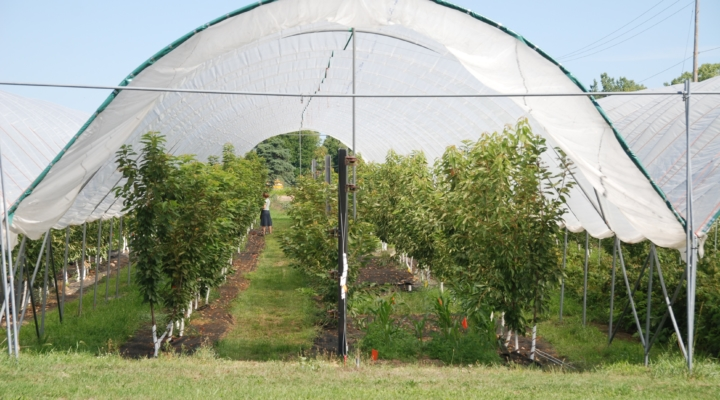 Sweet profits in forecast for NYS cherry growers