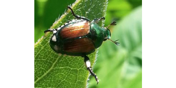 The beetles are just over a quarter of an inch long. The back side of the body, the wing covers or elytra are a shiny brownish coppery color, the rest of the body is green, but on the sides of the body there's a series of tiny white dots that you can see pretty well. (Photo Credit: PJ Liesch, UW-Madison Entomology)
