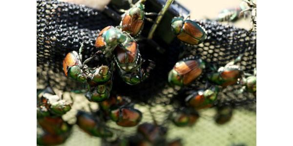 MU research targets Japanese beetles