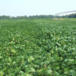 Efficient soybean irrigation is based heavily on growth stage. (Photo by Lyndon Kelley, MSU Extension)