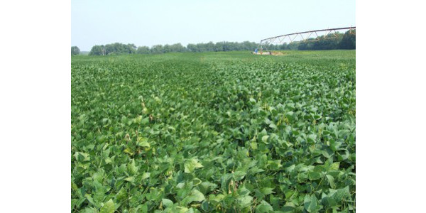 Soybeans at R-3 benefit from ample water