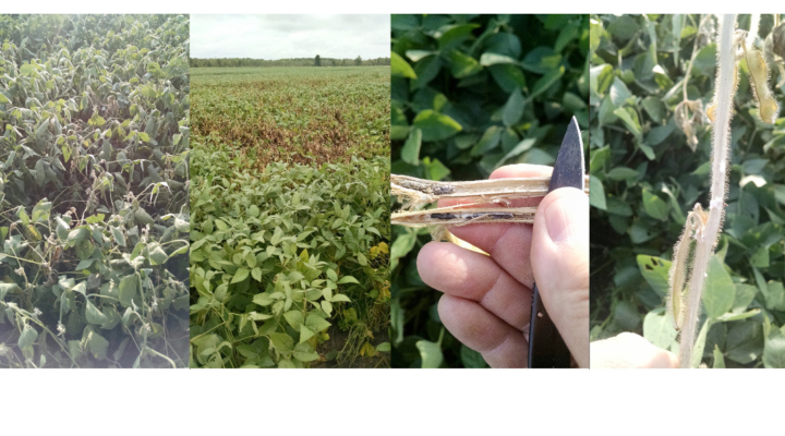 Corn & soybean surveys track disease trends