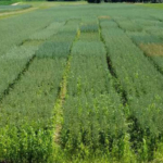 Oat plots. (Photo by Dean Baas, MSU Extension)