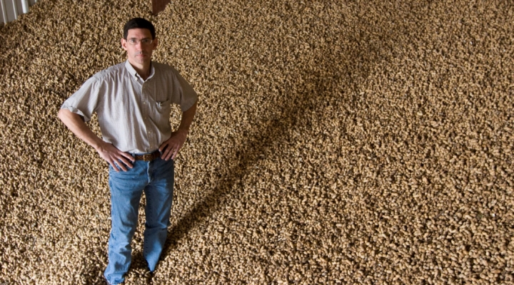 Scientists working on drought-tolerant peanut
