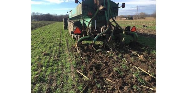 Managing manure nitrogen with a cover crop