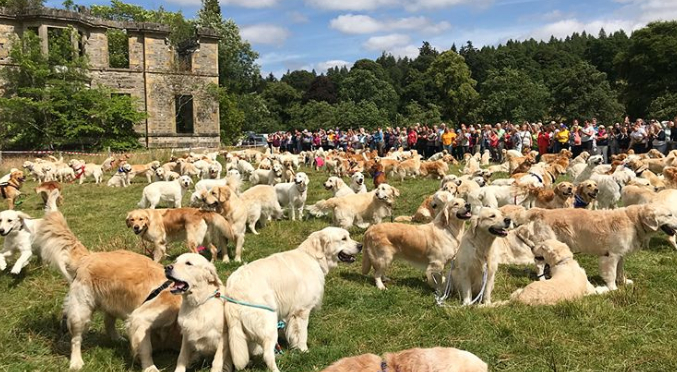361 Golden Retrievers met up in Scotland to celebrate their breed's birthday