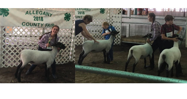2018 Allegany Co. Fair 4-H Sheep Show Results