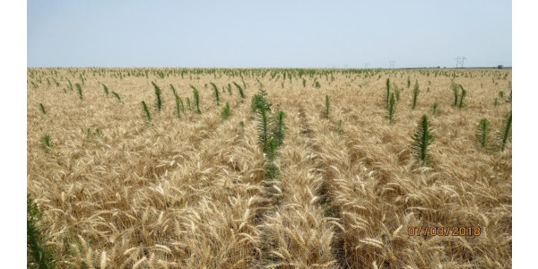 Post-harvest weed control in winter wheat