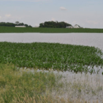 Fig. 1. Flooded crop field in southwestern MN, July 3, 2018. (Photo Credit: Liz Stahl, University of Minnesota Extension)