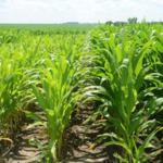 Iowa State University Extension and Outreach will host the next in its Focus on Nitrogen: Managing Nitrogen for Maximum Profit and Minimum Water Quality Impact workshop series on Aug. 21 at the Iowa State Northwest Research Farm near Sutherland. (Courtesy of ISU Extension and Outreach)