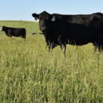 "A new Iowa State University Extension and Outreach publication titled ""Internal Parasites in Grazing Ruminants"" (IBCR 203) focuses on understanding and controlling challenges in grazing cattle. (Photo by Erika Lundy)"