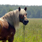Equine insulin resistance, also known as Equine Metabolic Syndrome (EMS), is becoming a more publicly known condition, however, it is a complicated disease that is still not completely understood. (Courtesy of MSU Extension)