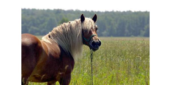 Insulin resistance in horses