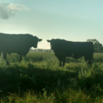 Bulls that are hurt or have other health issues can result in cows that are bred late or unbred. (NDSU photo)