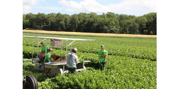 Trembling Prairie Farms harvesting celery