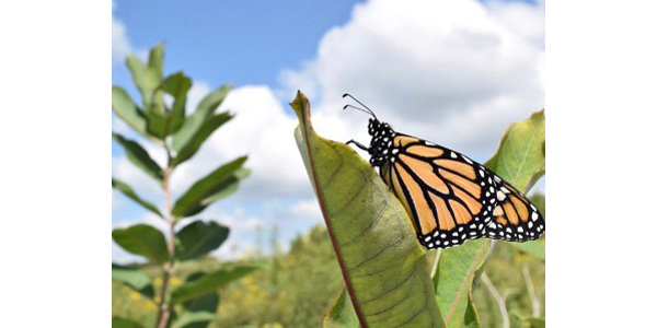 Iowa State University Extension and Outreach will host a monarch and pollinator field day on Aug. 21 at the Prairie Ridge Care Center in Orange City. (Courtesy of ISU Extension and Outreach)