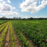 Many are turning to canopy sensing technologies to guide fertilizer application rates during in-season applications. (Courtesy of University of Minnesota Extension)