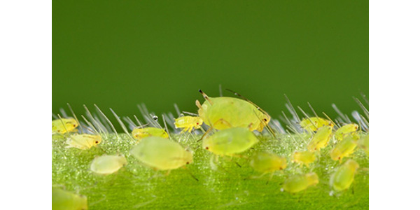 Soybean aphids infesting a soybean plant. For many farmers in the north central region, soybean aphid is the primary soybean insect pest and can be costly to manage, especially if pyrethroid-resistant. (Courtesy of ISU Extension and Outreach)