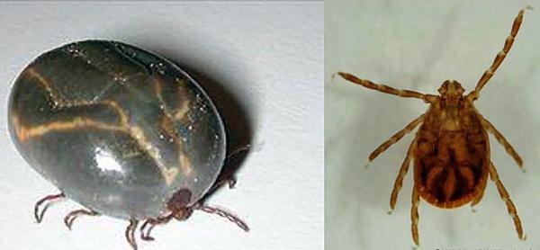 Exotic tick species found in Bergen County