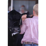 From the livestock barns to the projects in the Humiston Building, the Livingston County 4-H Show is much more than just ribbons. (University of Illinois Extension Livingston County)