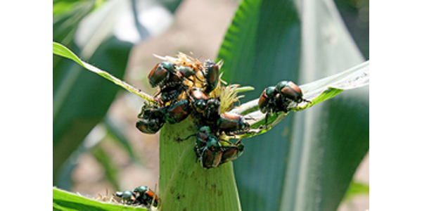 Pests and pathogens are keeping Illinois corn and soybean farmers busy right now, with recent reports of Japanese beetles, grey leaf spot, Diplodia leaf streak, and southern rust in fields across the state. (Courtesy of University of Illinois)