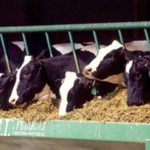 When dairy cattle consume aflatoxin-contaminated feed, they are lethargic, their appetite wanes, they produce less milk, and their immune system goes awry. (Courtesy of University of Illinois)