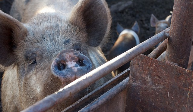 China reports 4th outbreak of African swine fever