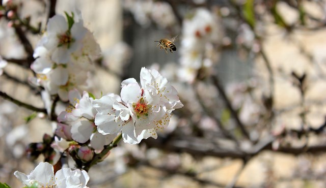 Honey bees' vital role in growing almonds