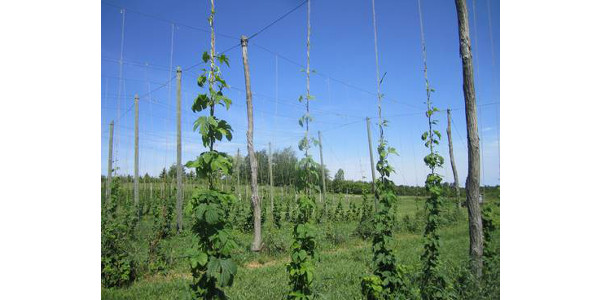 "Cultivars have different ""optimum"" harvest periods; length of the optimum window varies by cultivar and by season, and hops are harvested at technical ripeness, not physiological ripeness. (Photo by Erin Lizotte, MSU Extension)"