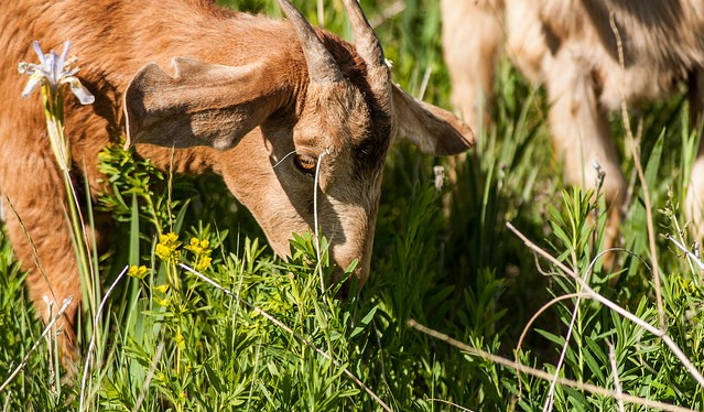 VT city employs goats to get rid of poison ivy