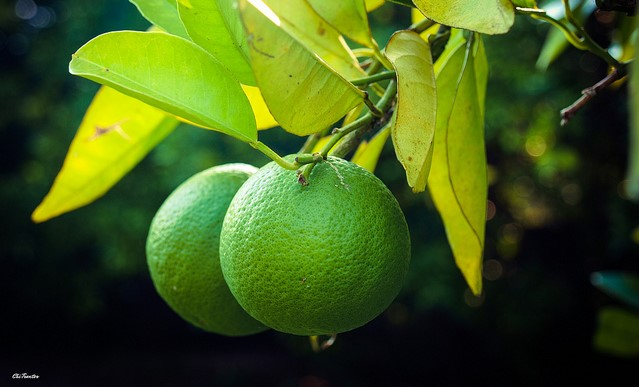 New UF/IFAS Citrus Production Guide available
